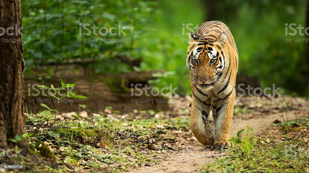 Tiger Walking Head On stock photo