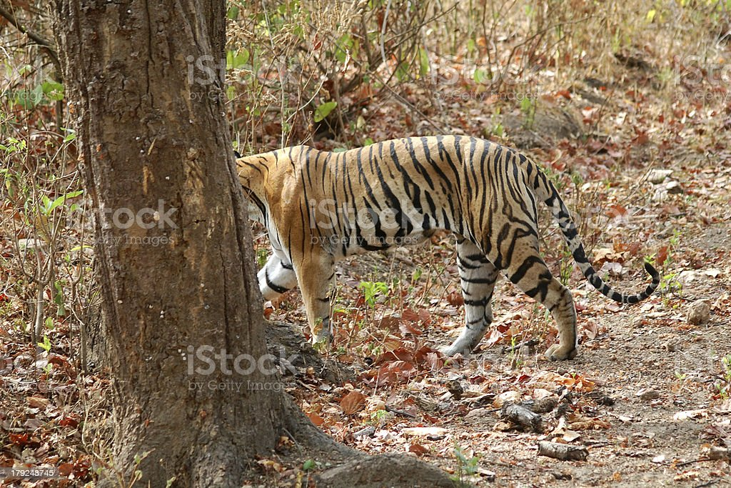 Tiger walking in forest. royalty-free stock photo