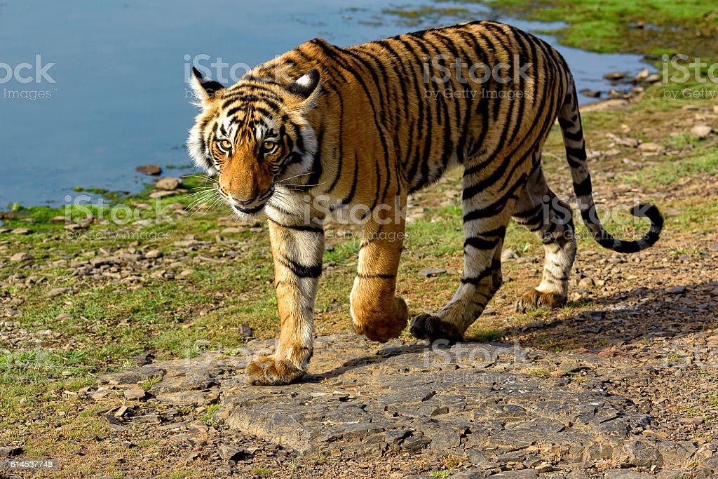 Tiger walking next to a lake stock photo