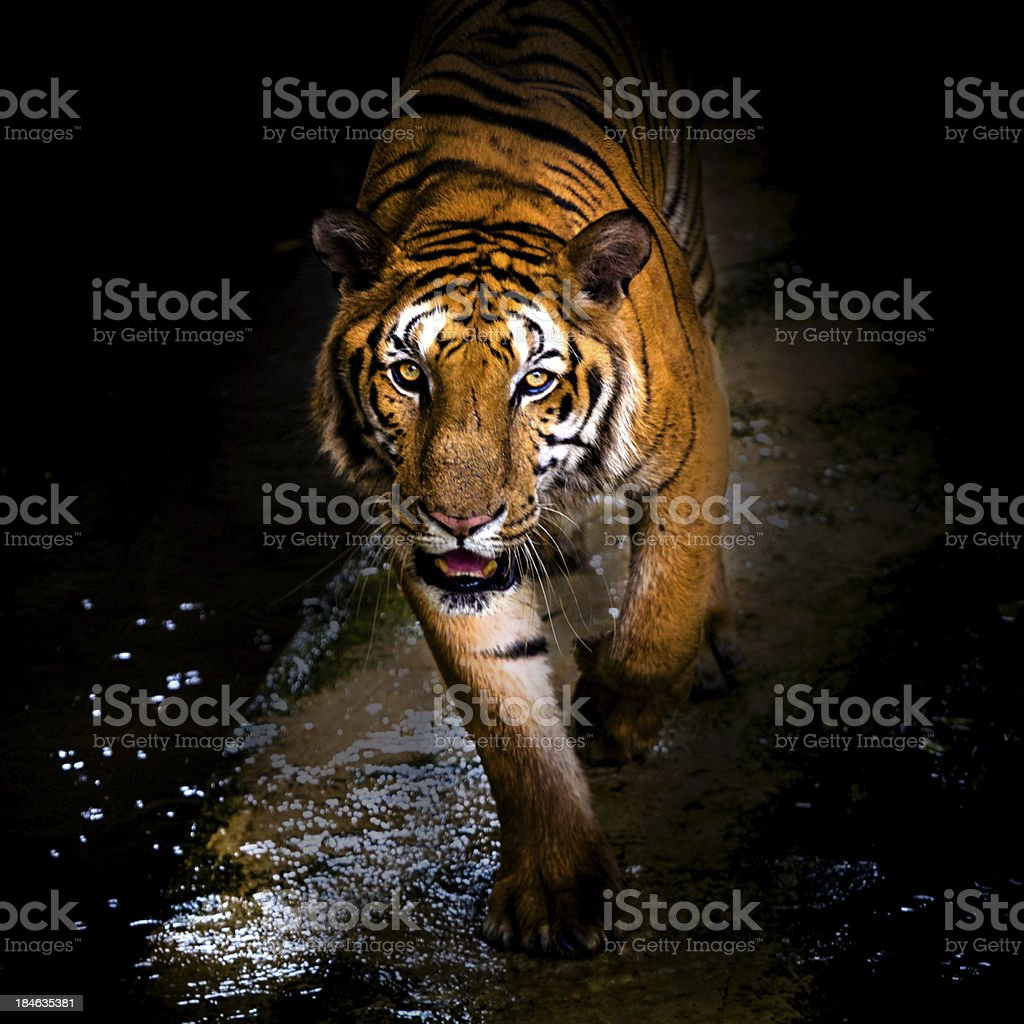 tiger walking out of shadow/Tiger stock photo