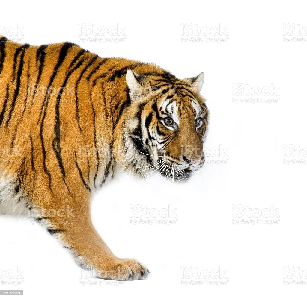 Tiger walking royalty-free stock photo