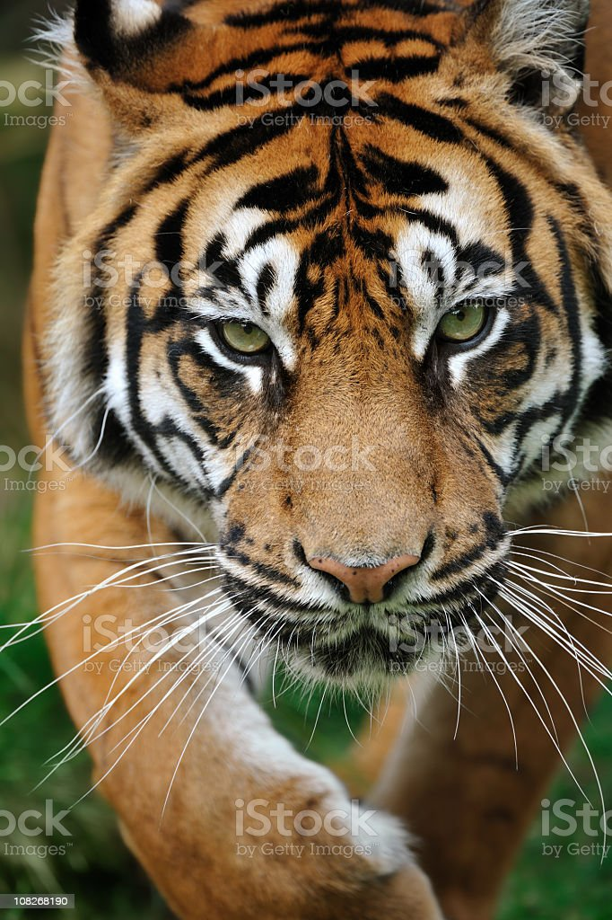 Tiger walking towards camera in grass royalty-free stock photo