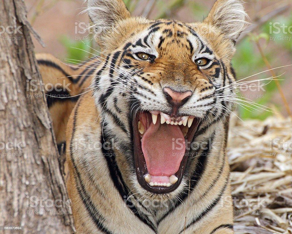 Tiger warning stock photo