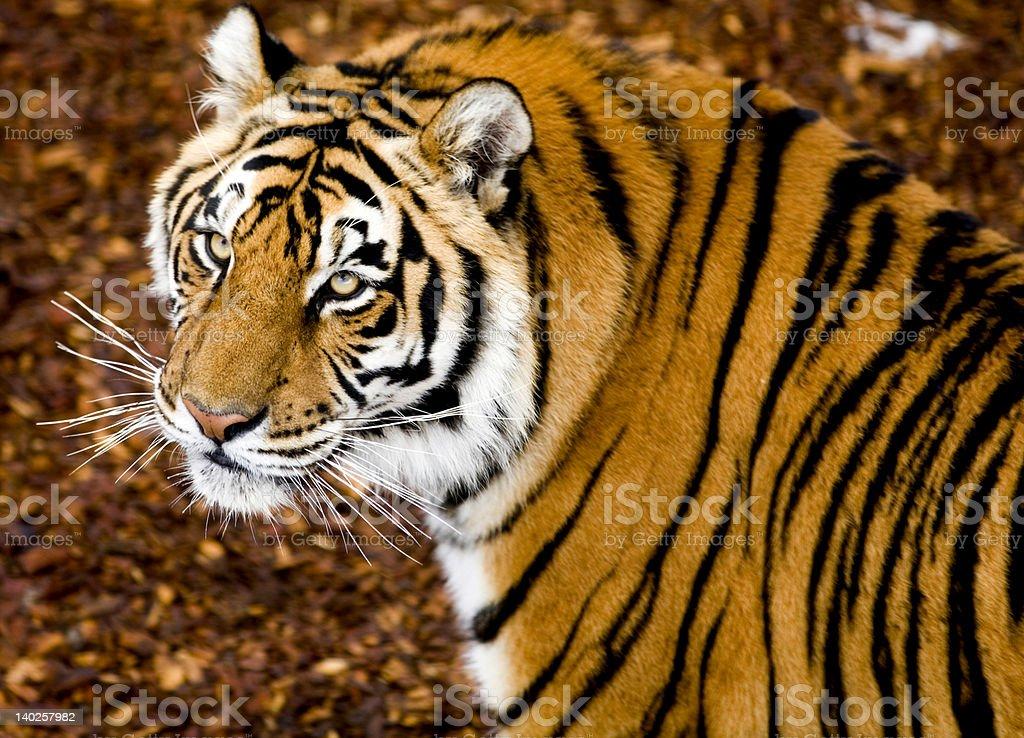 Tiger Watching royalty-free stock photo