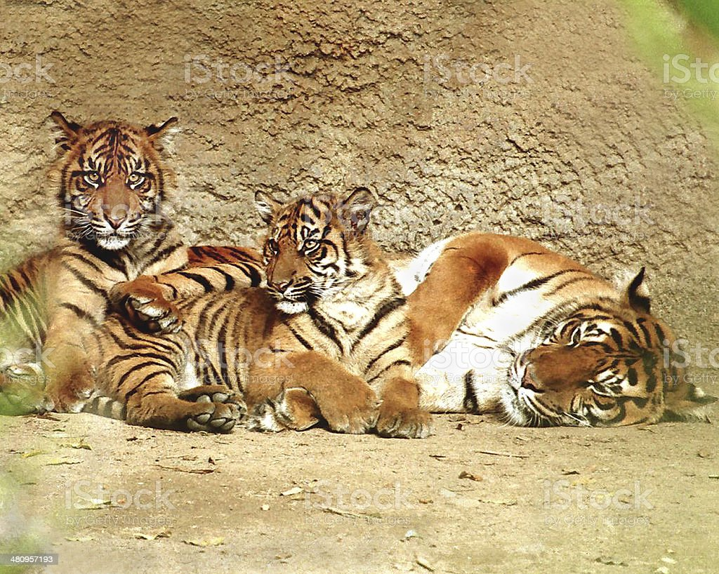 Tiger with cubs stock photo