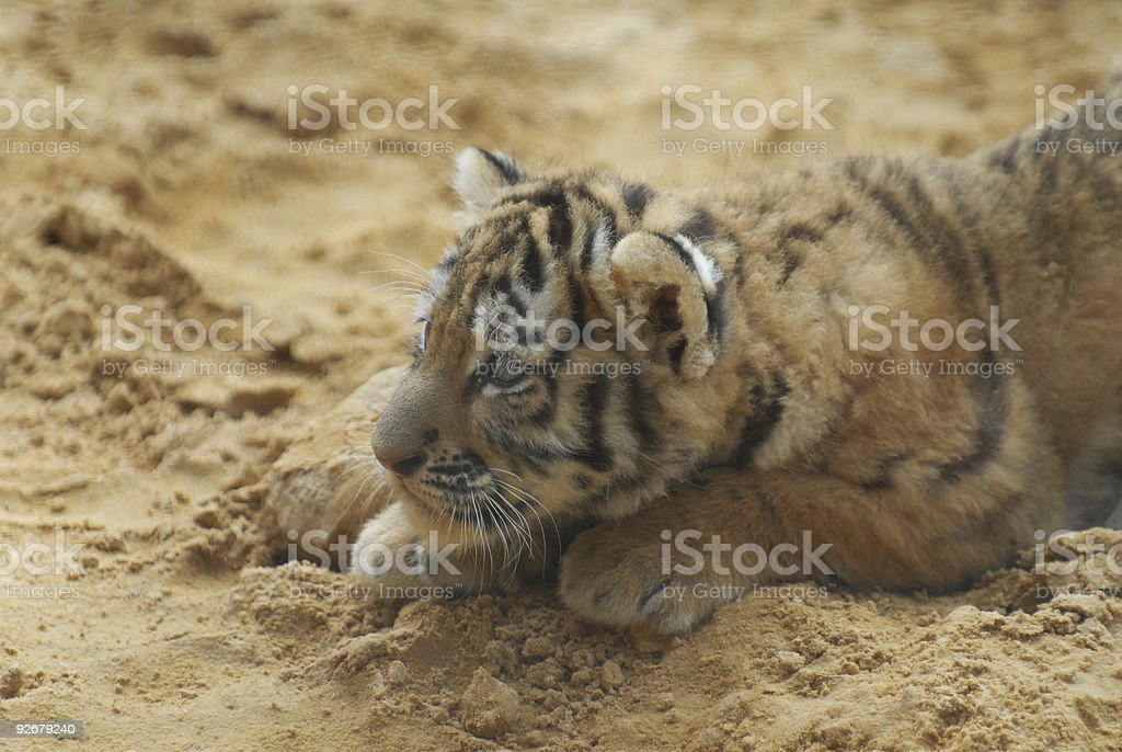 Tiger-cub lays on sand royalty-free stock photo