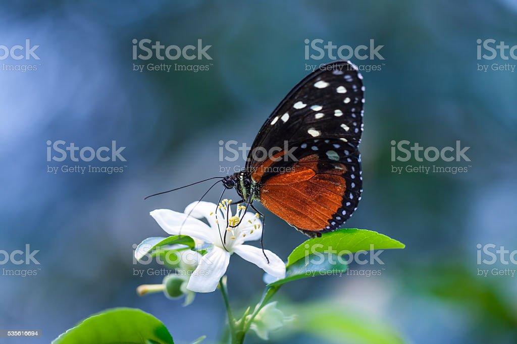 Tigerpassionsfalter auf Blüte stock photo