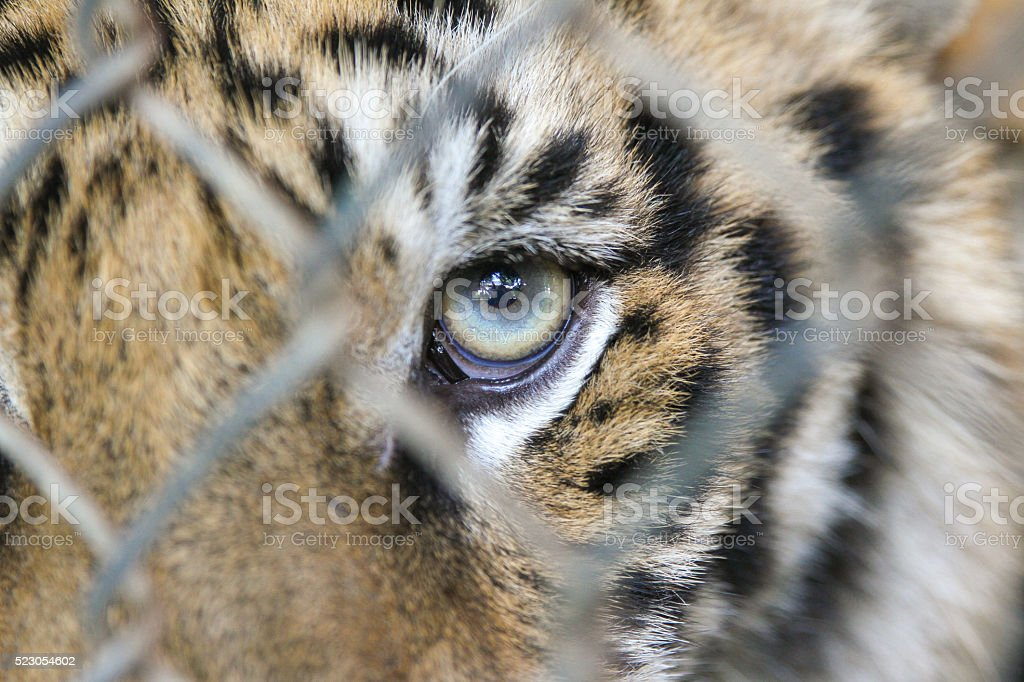tigers eye stock photo