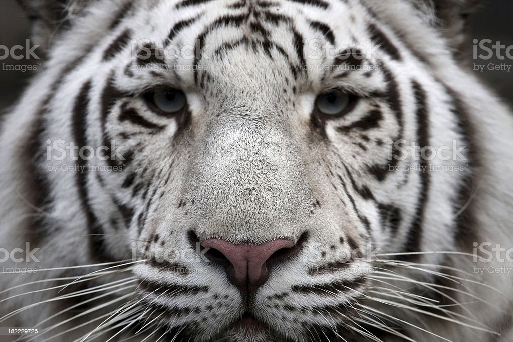 Tiger's Face royalty-free stock photo