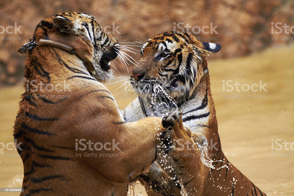 Tigers fighting it out stock photo
