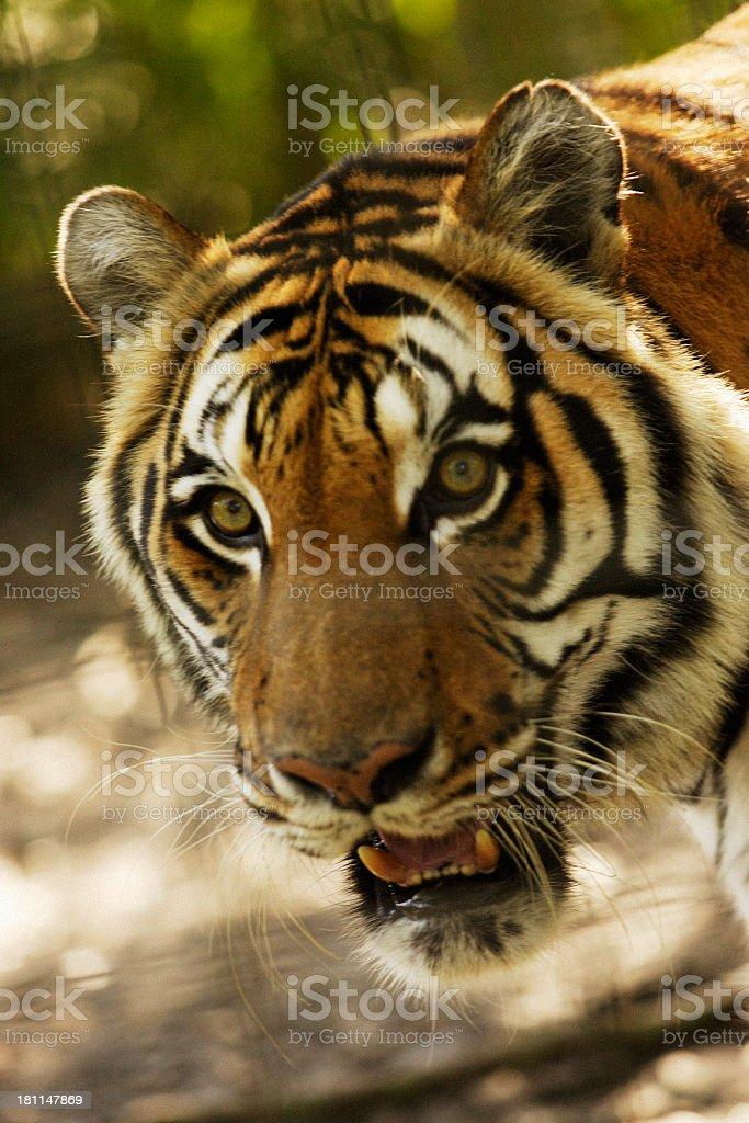Tigers Head royalty-free stock photo