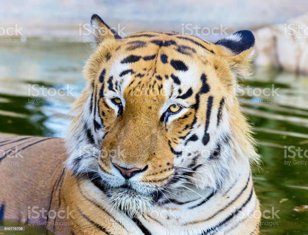 Tigers in India roaming free. stock photo