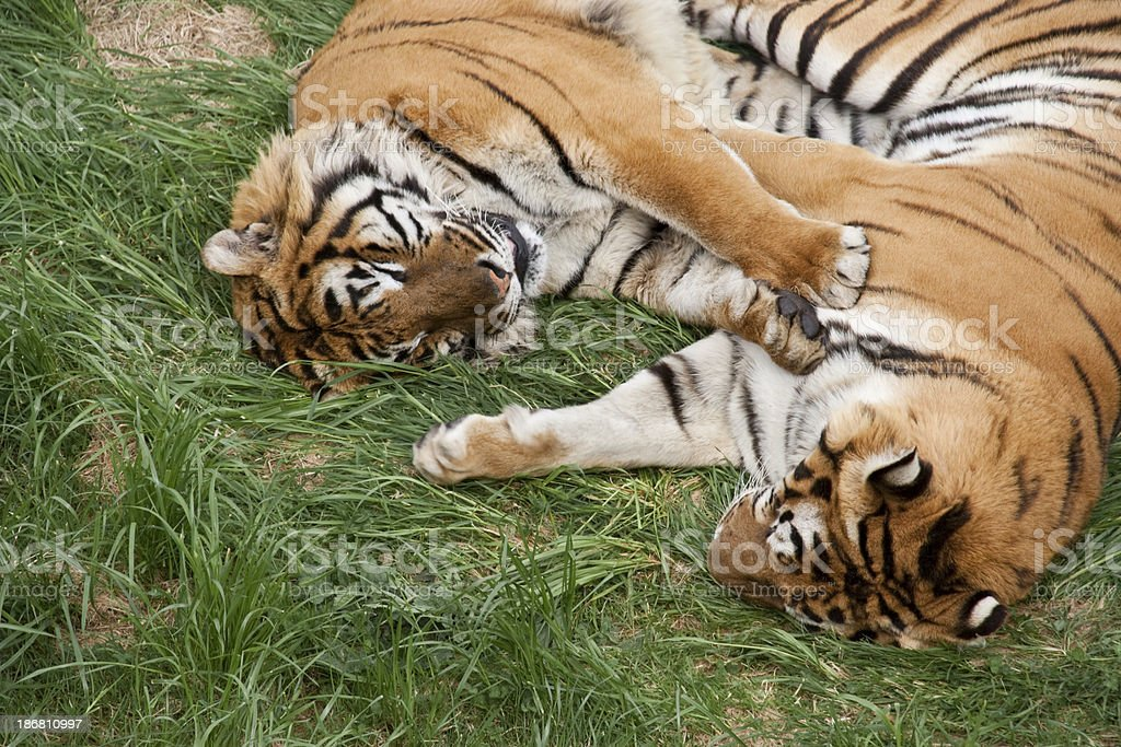 Tigers in love. royalty-free stock photo