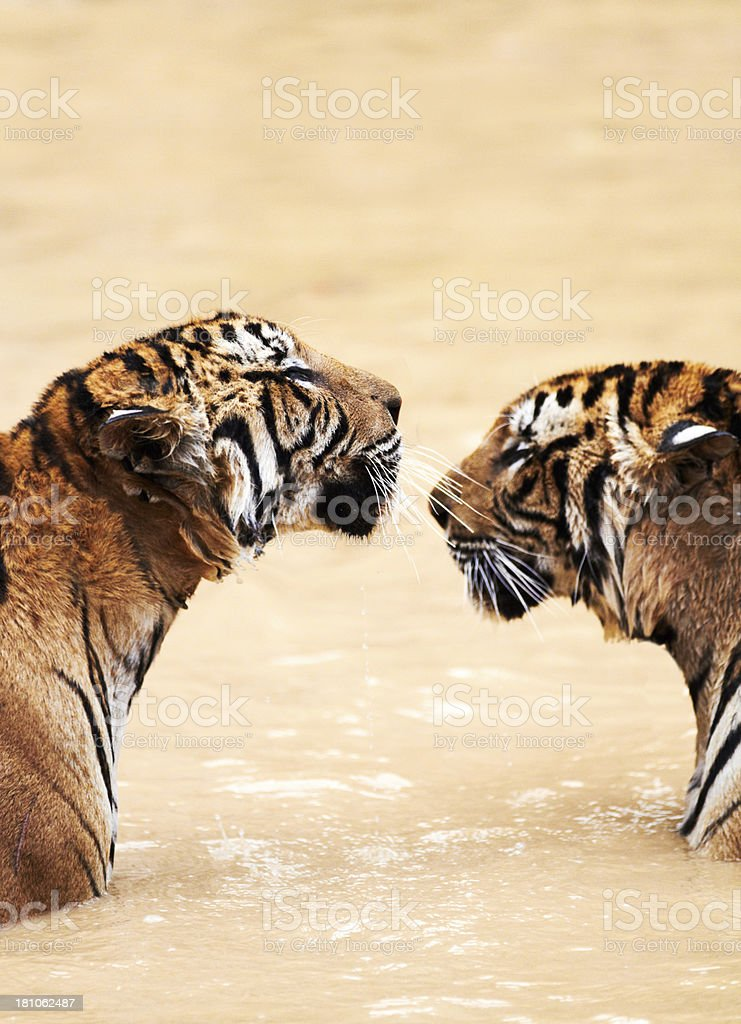 Tigers in the water facing eachother stock photo