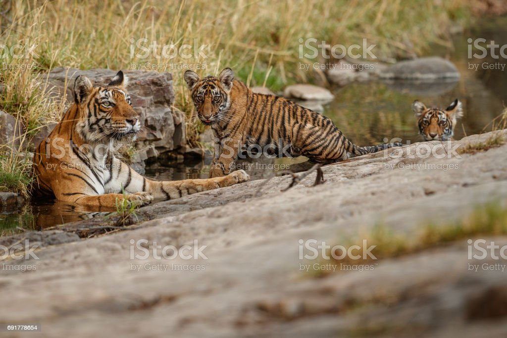 Tigers mother and cubs resting in the water stock photo