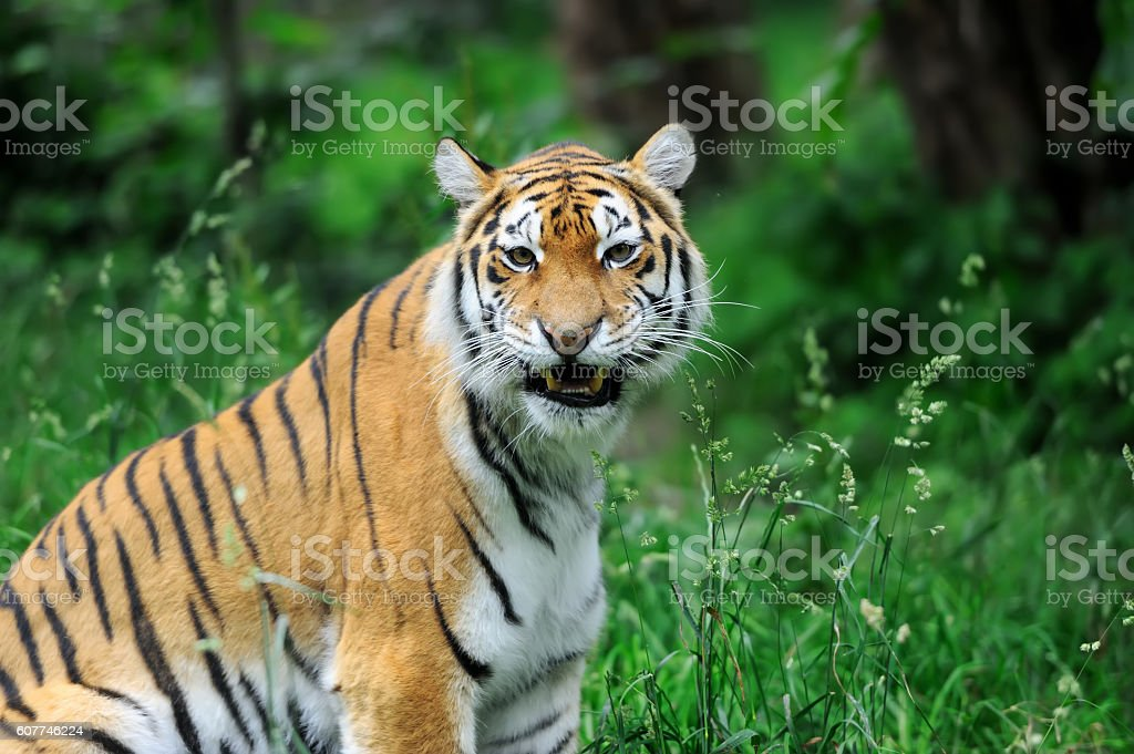Tigers on a grass stock photo