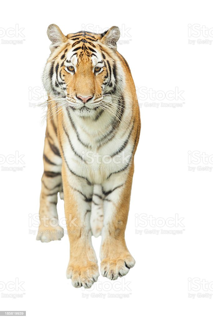 Tigers royalty-free stock photo