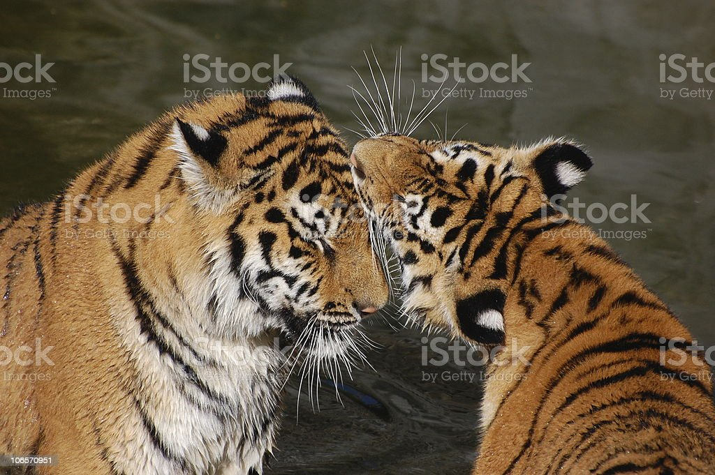 tigers play in water stock photo