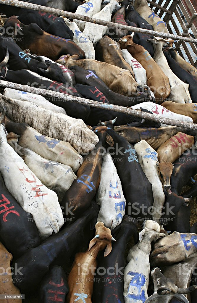 Tightly Packed Cattle royalty-free stock photo