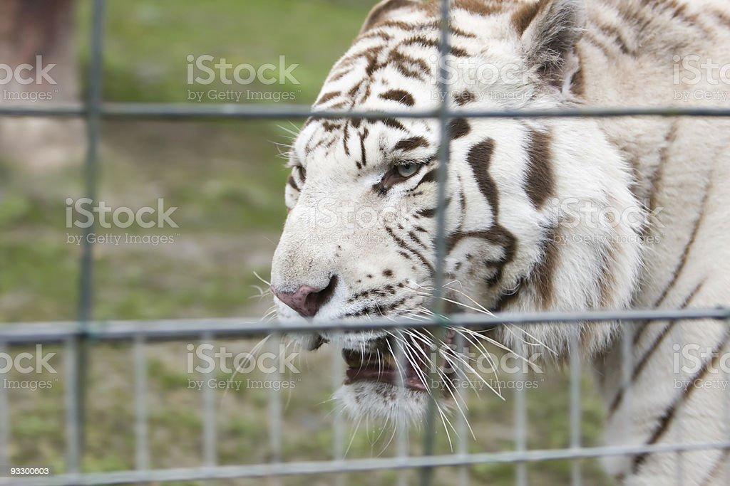 Tigre blanc royalty-free stock photo