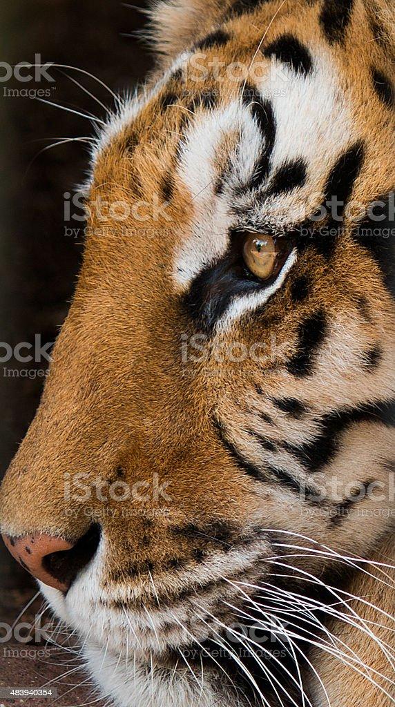 Tigre stock photo
