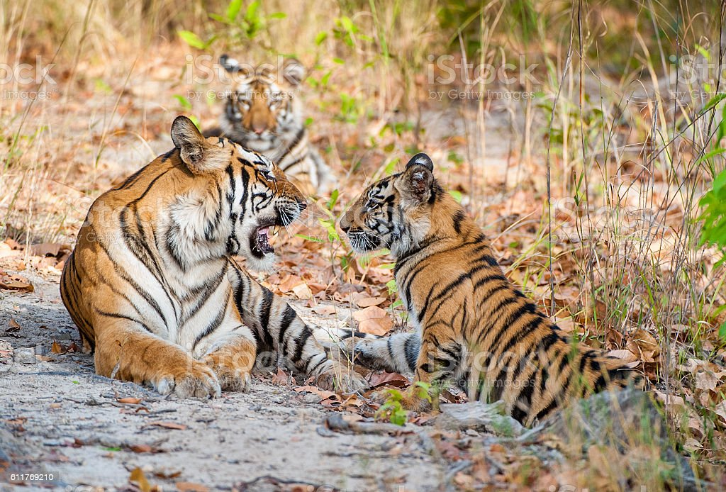 Tigress and cubs. stock photo