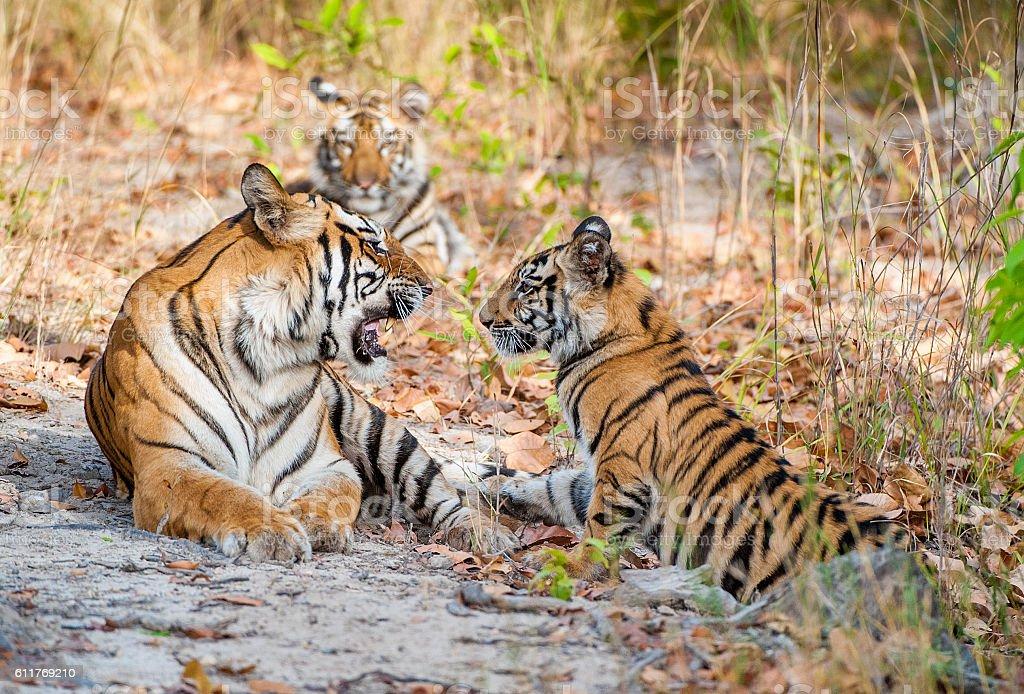 Tigress and cubs. stock photo