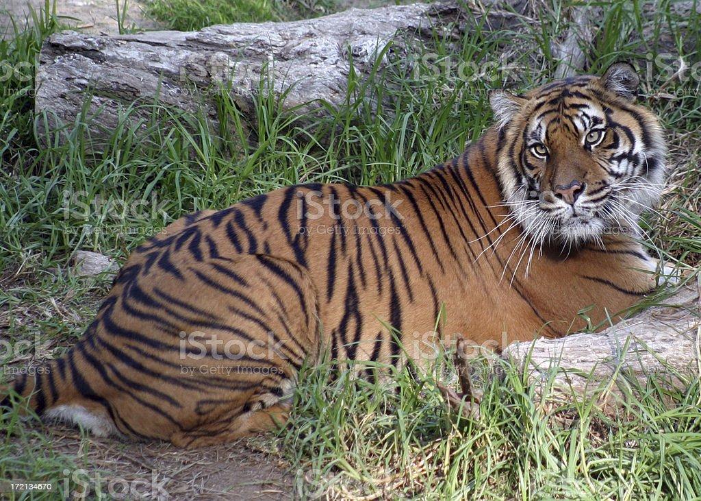 Tigress stock photo