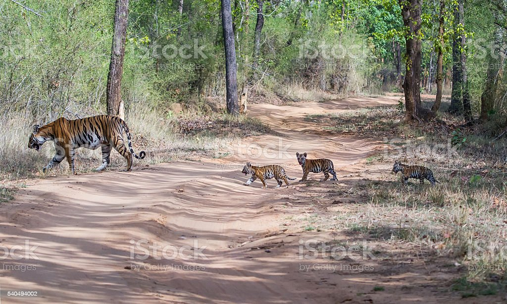 Tigress With Young Cubs stock photo