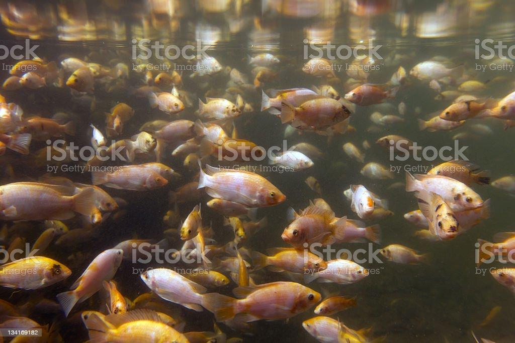 Tilapia a fish farm stock photo