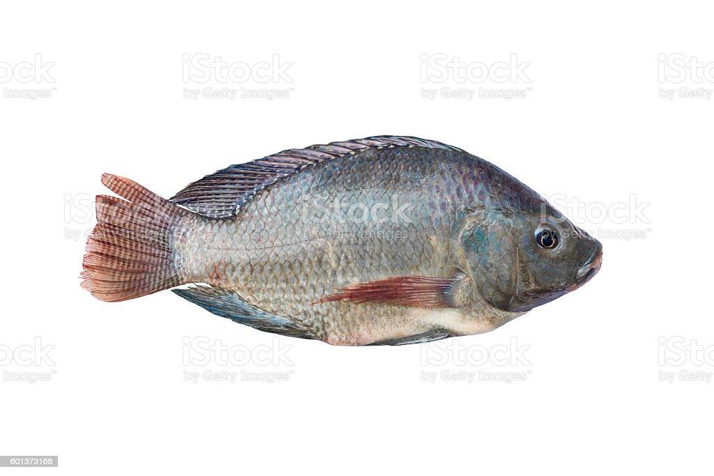 Tilapia and Nile tilapia, fresh freshwater fish, isolated on whi stock photo