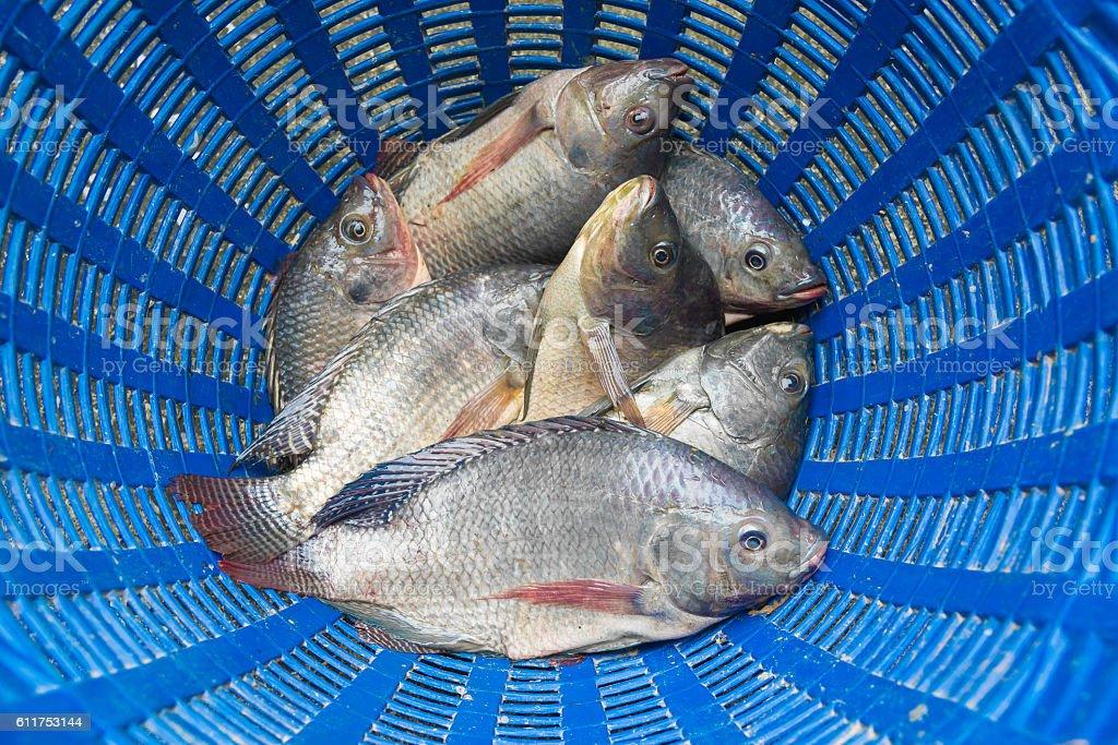 Tilapia and Nile tilapia in blue plastic bucket, raw fresh stock photo