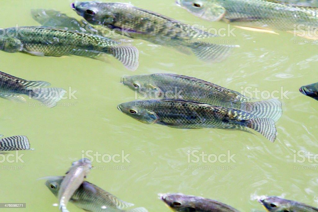 Tilapia Fish in farm stock photo