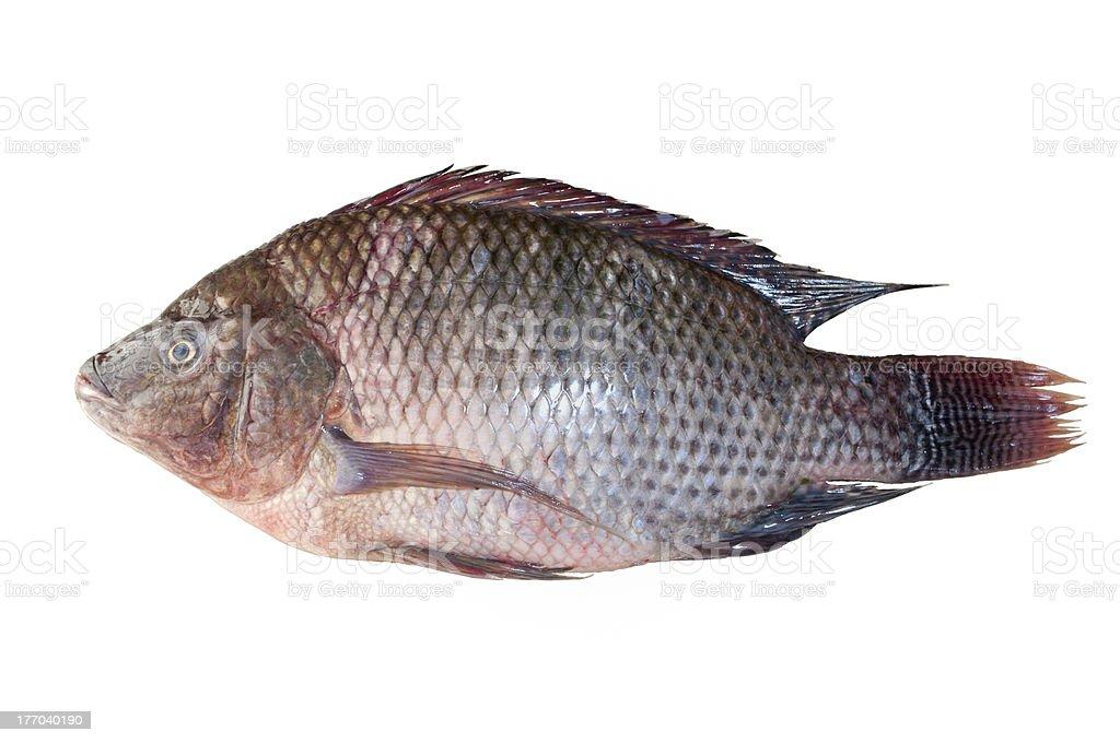 Tilapia fish isolated royalty-free stock photo