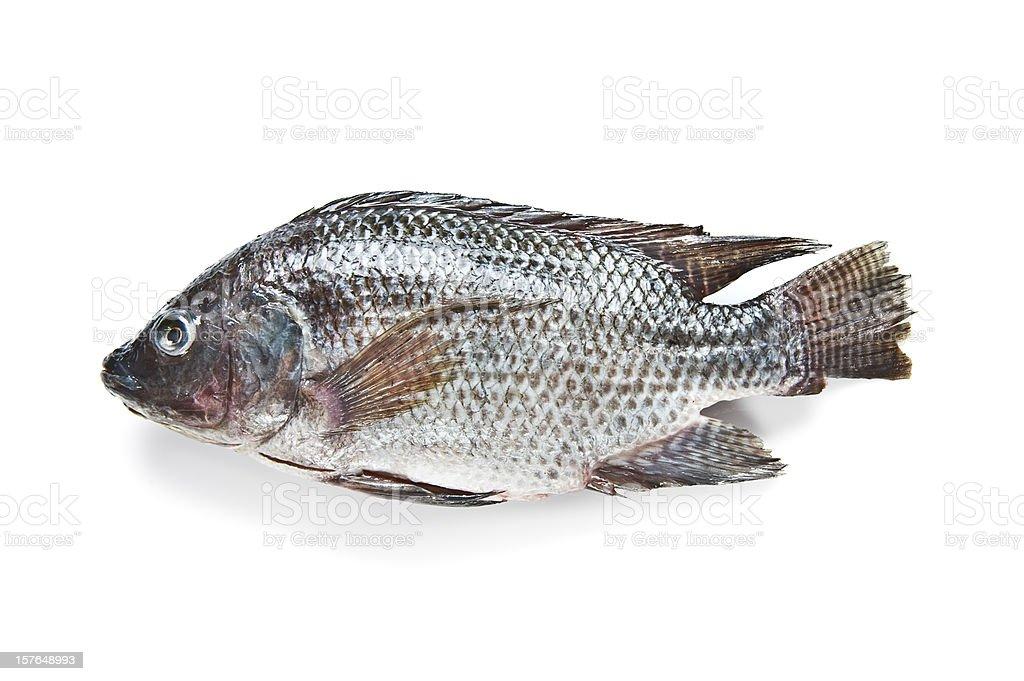 Tilapia fish stock photo