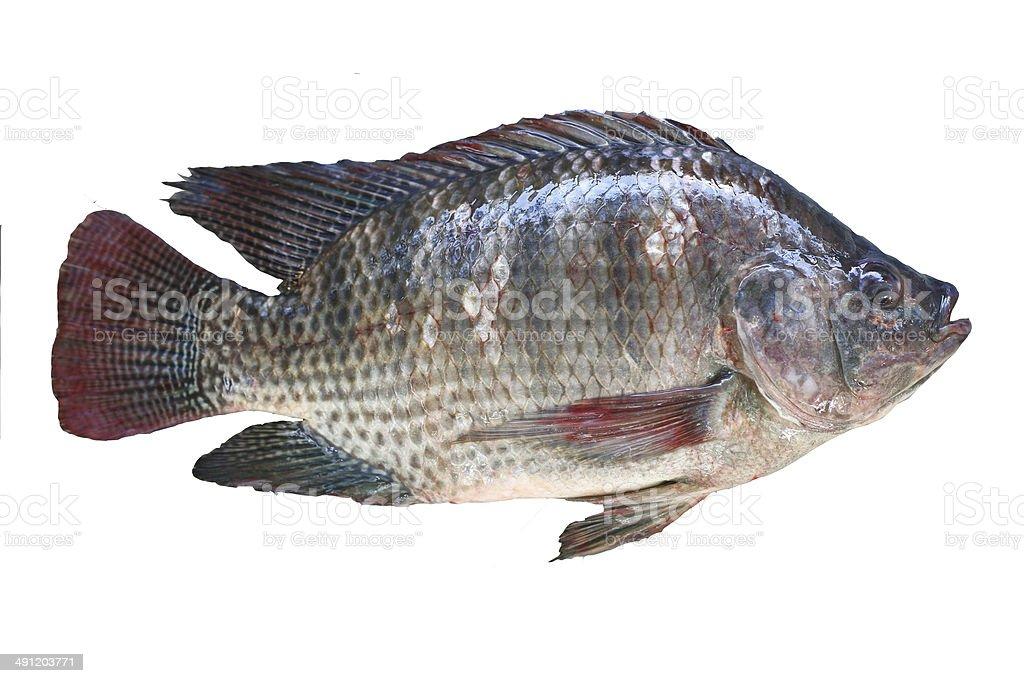 Tilapia fish. stock photo