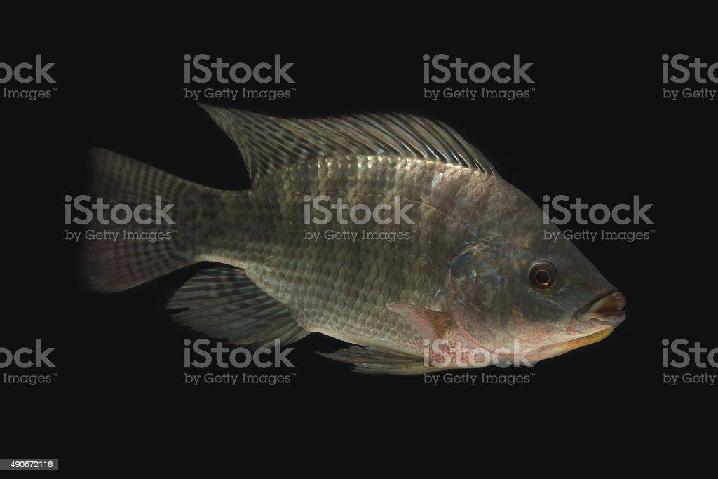 Tilapia (GIFT) in the dark stock photo