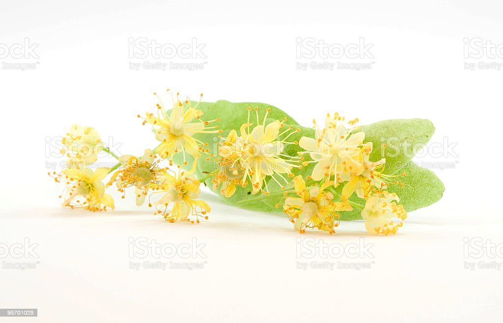 Tilia blossom stock photo
