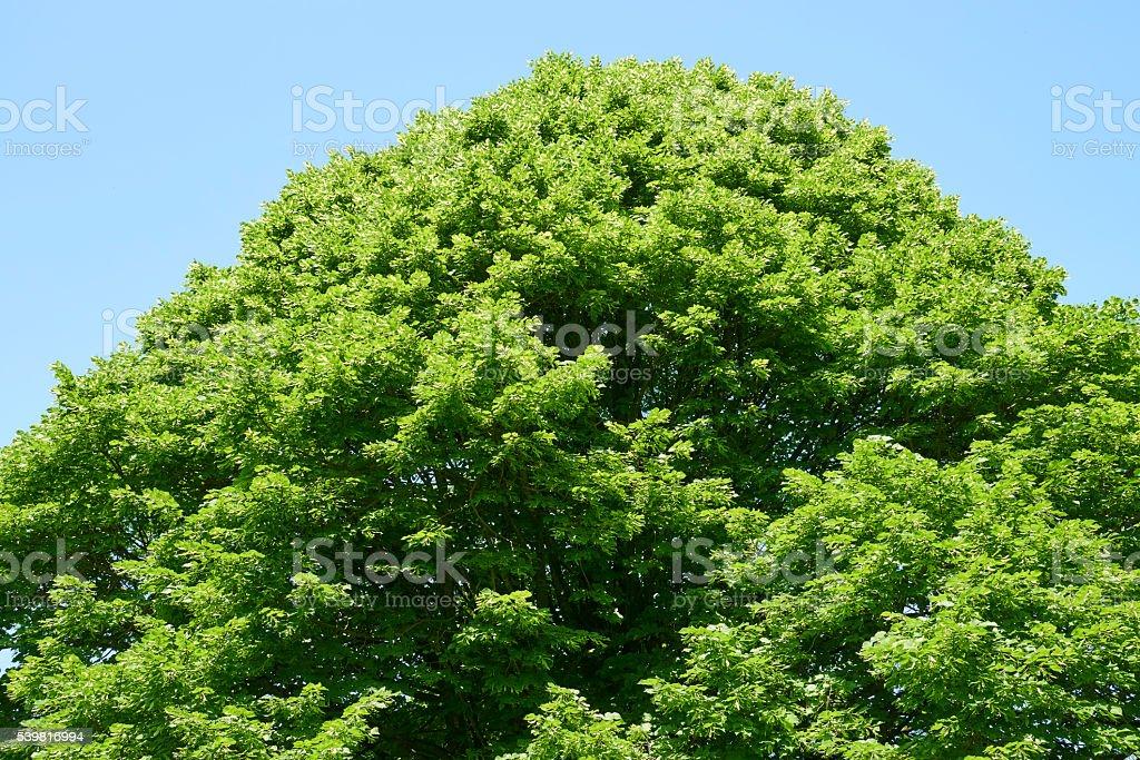 Tilia Europaea stock photo