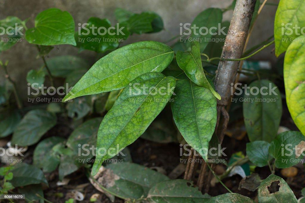 Tiliacora triandra stock photo