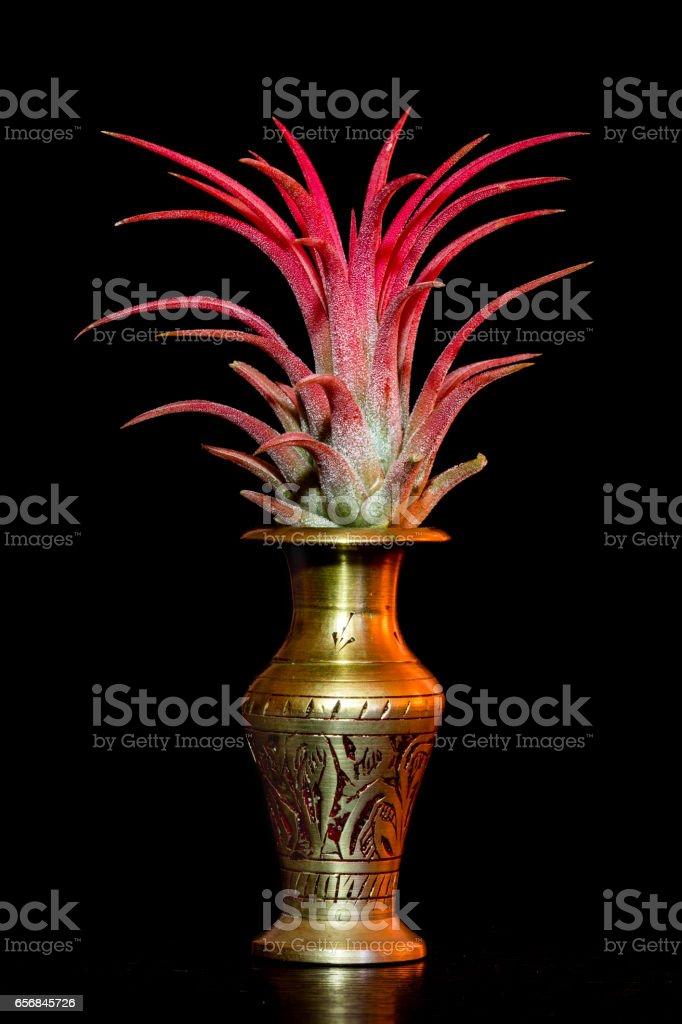 Tillandsia ionantha red plant stock photo