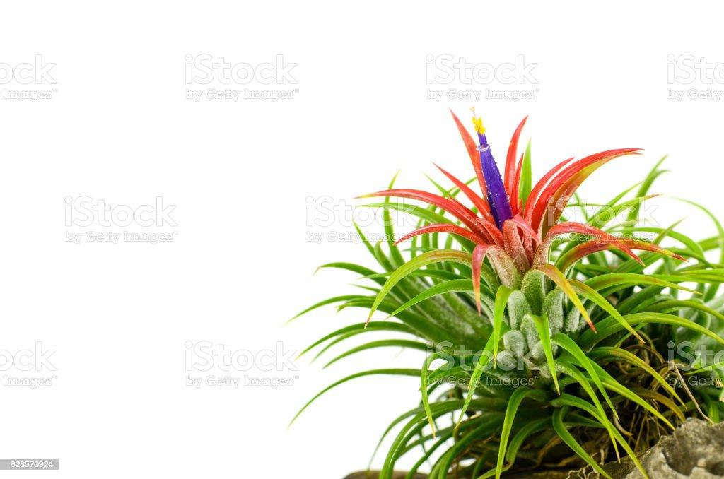 Tillandsia on white background. stock photo