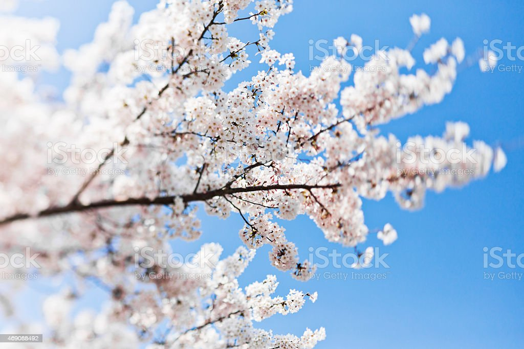 Tilt Shift Image of Cherry Blossoms stock photo