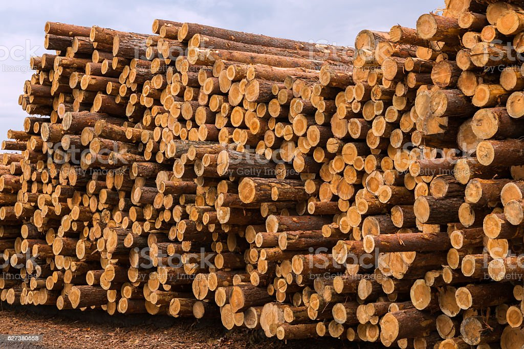 Timber logging in pine forest. stock photo