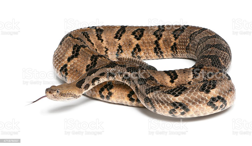 Timber rattlesnake - Crotalus horridus atricaudatus, poisonous, white background stock photo