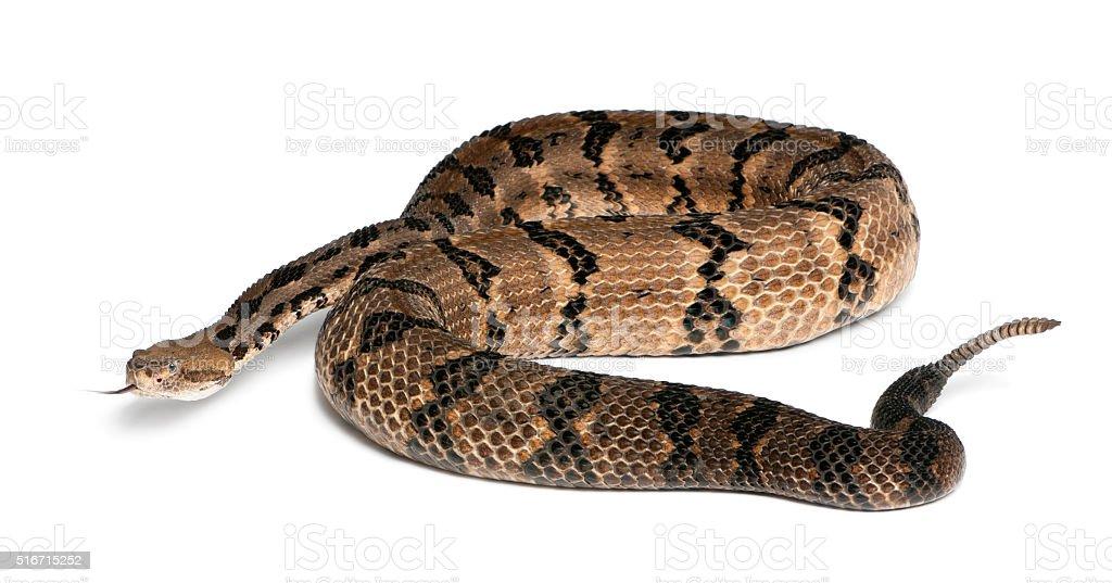 Timber rattlesnake - Crotalus horridus atricaudatus, poisonous, white background stock photo