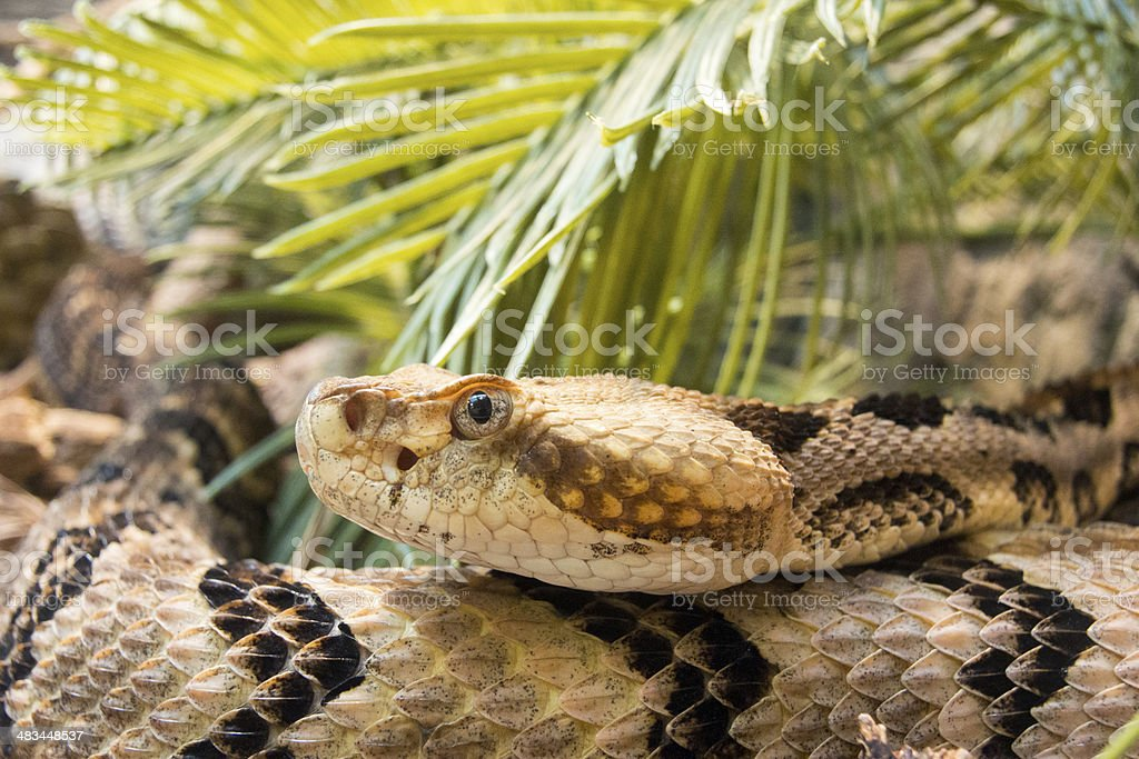 timber rattlesnake  Crotalus horridus stock photo