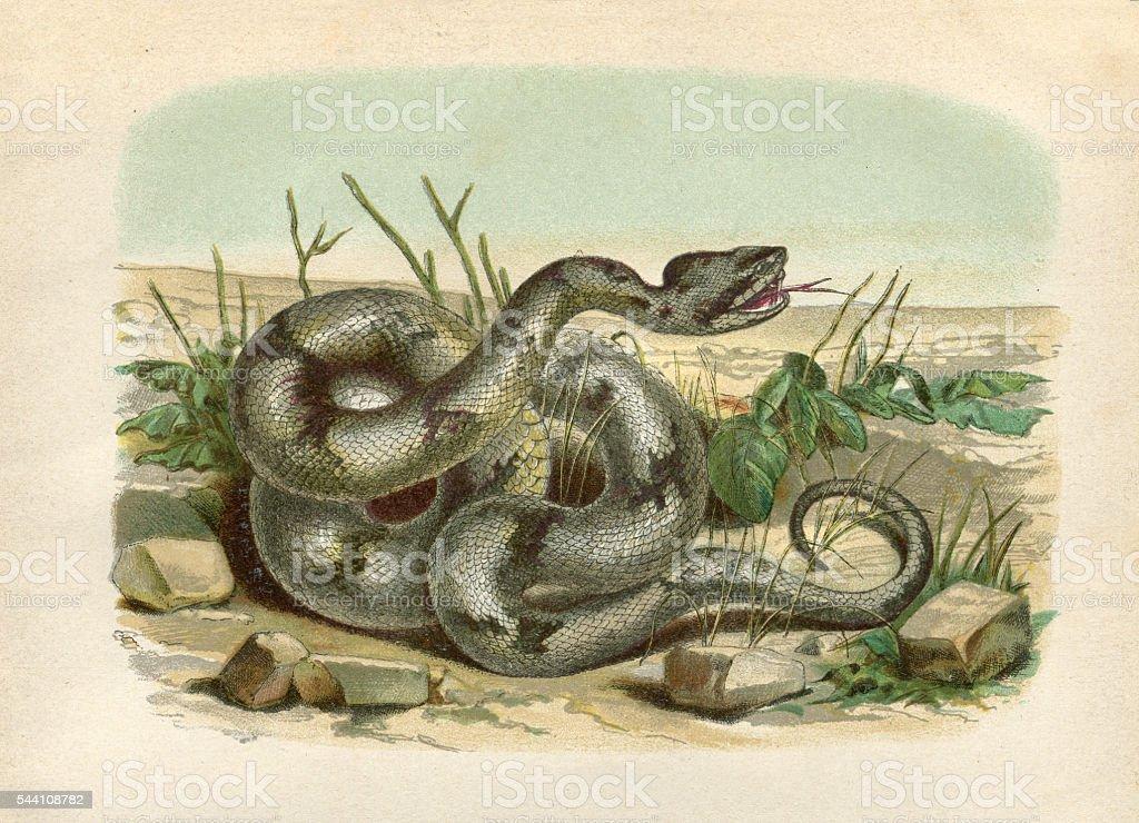 Timber rattlesnake engraving 1881 stock photo