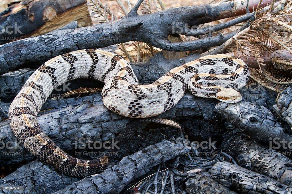 Timber (Canebrake) Rattlesnake - Full Body stock photo
