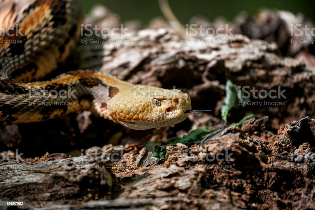 timber rattlesnake on the prowl stock photo